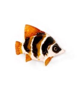 Hal, sávozott, szem barna, narancssárga farok, hűtőmágnes